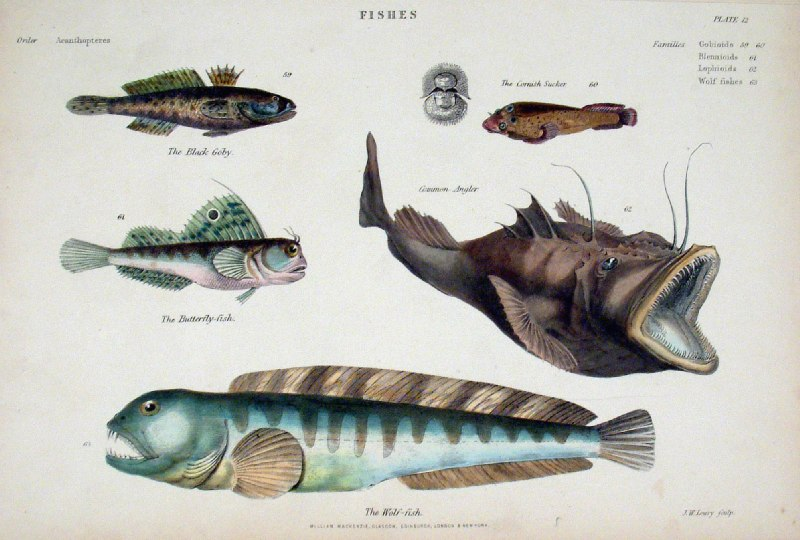 Antique prints of nature fish for Black wolf fish