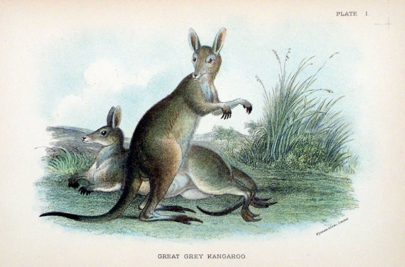 Australia's mammals are most unusual in that a large proportion of them...